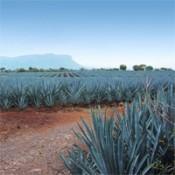 Organic Agave Nectar (4)